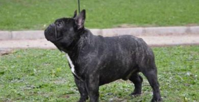 Fotografia de un macho de bulldog frances atigrado