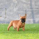 color fawn rojizo, cervatillo oscuro, colores bulldog frances