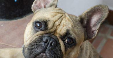 Cara de bulldog frances, bulldog francés cara