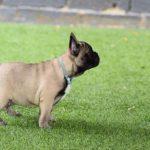 bulldog frances fawn cachorro