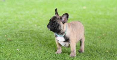 bulldog frances fawn cachorro hembra