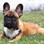Todos los colores del bulldog frances, cachorro, comprar perro