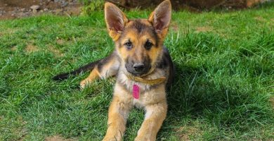 precioso cachorro pastor aleman