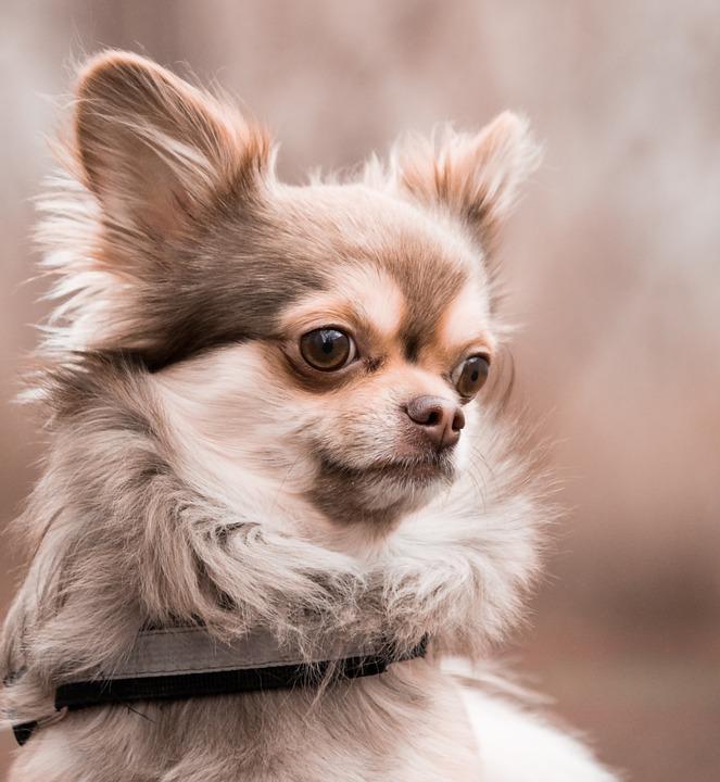 Chihuahua alimentación