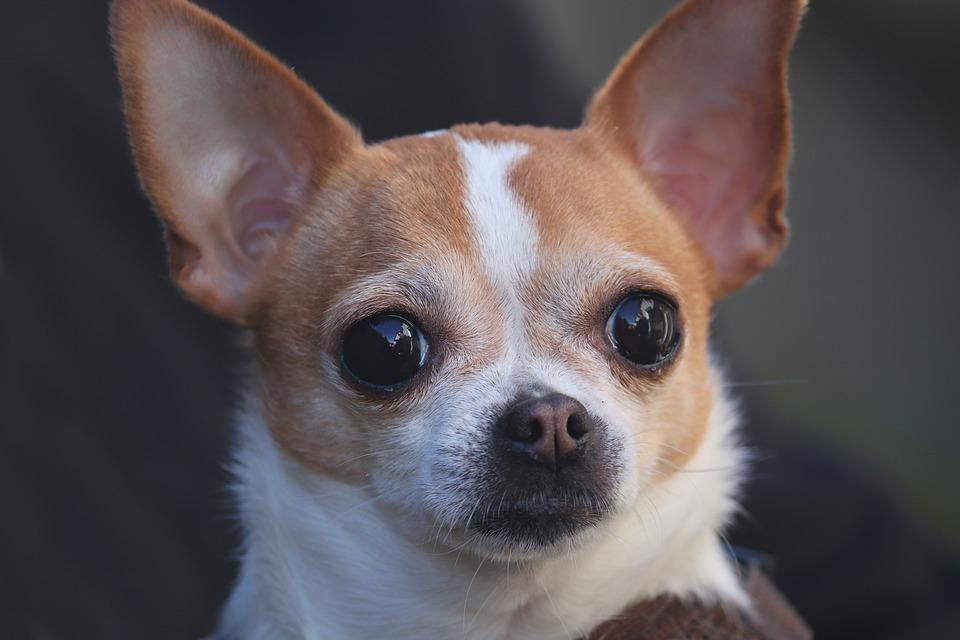 Chihuahua blanco y crema