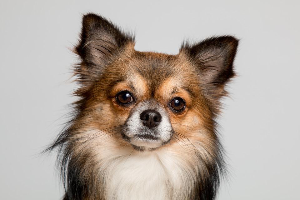 Chihuahua color sable, chihuahua