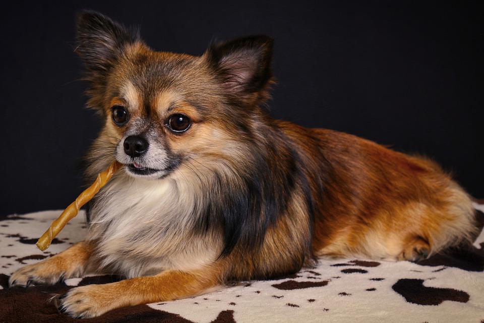 Chihuahua comiendo