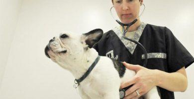 Enfermedades del bulldog frances