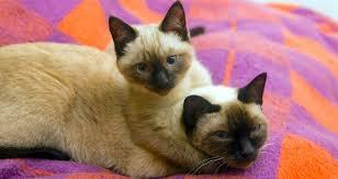 Foto de dos Gatos Siameses abrazados