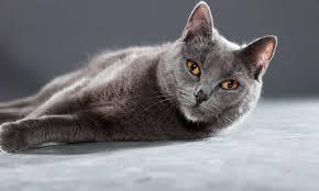 Imagen de Gato Chartreux descansando