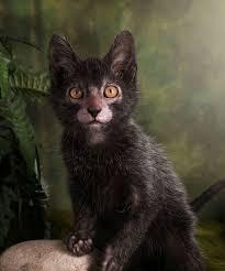 Curiosidades del gato Lykoi