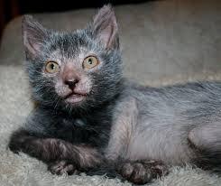 Foto de gato Lukoi tumbado