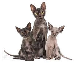 Foto gatos Lykoi