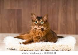 Fotos de gato Somali tumbado