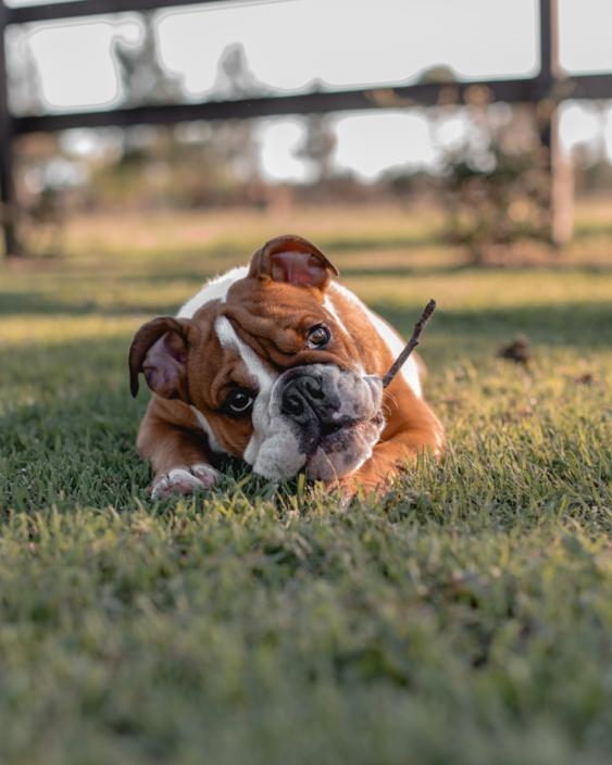 Bulldog ingles perro agresivo