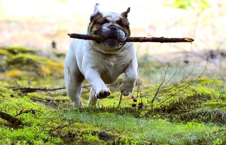 bozal para bulldog
