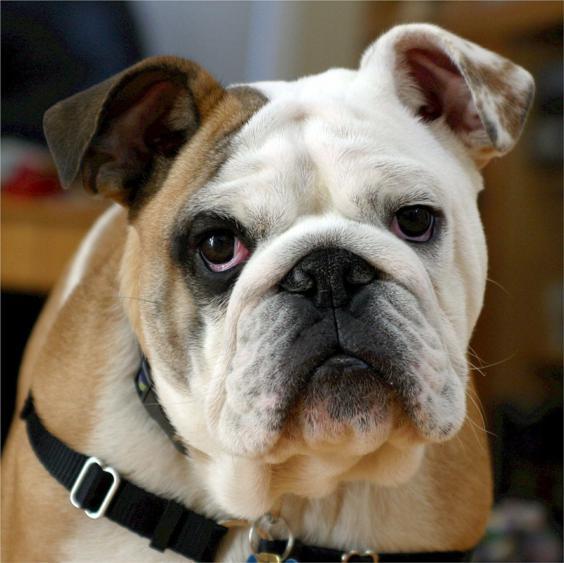 bulldog ingles criadores